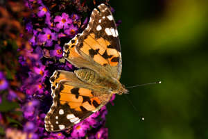 ALEXANDRIA, SCOTLAND - JULY 28: Painted Lady butterflies sit on a Buddleja shrub on July 28, 2019 in Alexandria, Scotland. The UK is experiencing a once in a decade wildlife phenomenon this year with a mass influx of Painted Lady butterflies, experts are saying. (Photo by Jeff J Mitchell/Getty Images)