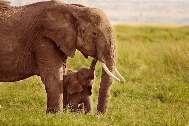 Slide 1 of 12: Baby elephant showing affection to it's mother, Masai Mara, Kenya
