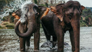 Two asian elephants bathing in a river in Laos
