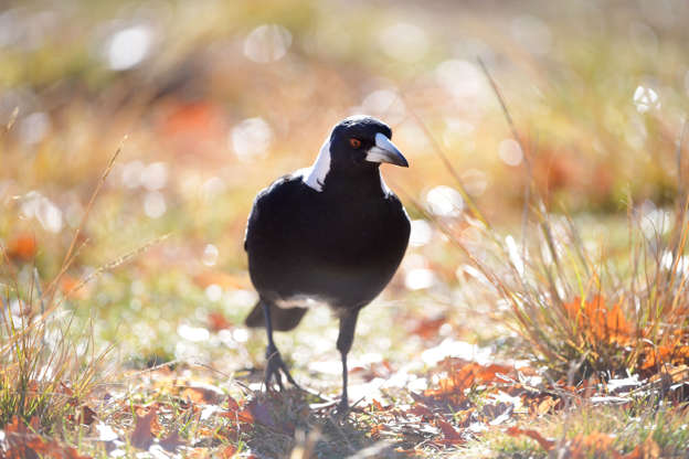 Swooping magpie shot by Sydney council after 'particularly