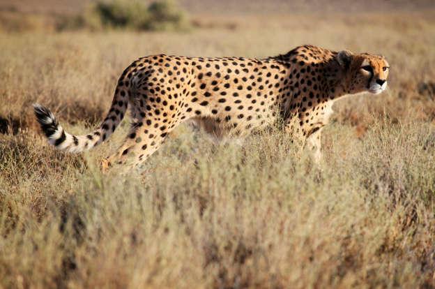 Environmentalists filmed Iran's vanishing cheetahs  Now they