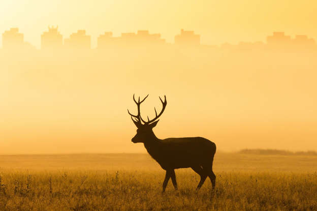 幻灯片 21 - 1: Seasonal weather, London, UK - 18 Sep 2019 A deer basks in the early morning light in Richmond Park as the sun rises earlier this morning. Temperatures over the next few days are set to reach up to 24 degrees Celsius. 18 Sep 2019