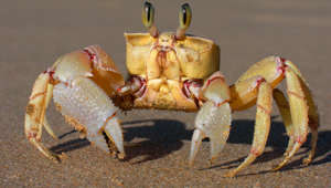 Ghost crabs have teeth in their stomachs for warding off predators