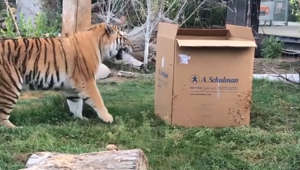 Big zoo tiger faces off against his mortal enemy: a cardboard box
