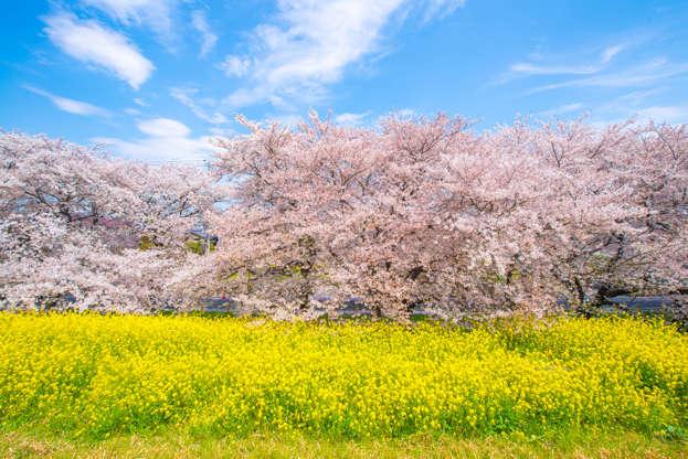 24 枚のスライドの 24 枚目: Sakura, Japanese cherry blossom and Rapeseed blooming at Kumagayaarakawa Ryokuchi Park in Kumagaya, Saitama. The 1 of Japan's Top 100 Cherry Blossom SpotsS