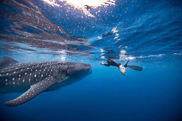 幻灯片 25 - 1: Underwater view of female snorkeler photographing whale shark, Quintana Roo, Mexico