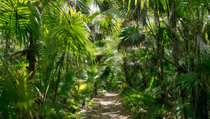 View of a dense vegetation path in the tropical rainforest of Tulum, Mexico