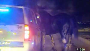 Cops chase rogue horse in dramatic video