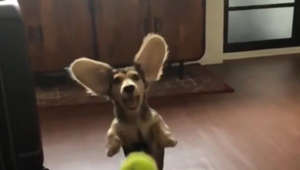 Slow motion captures lovable puppy's terrible attempt at playing catch