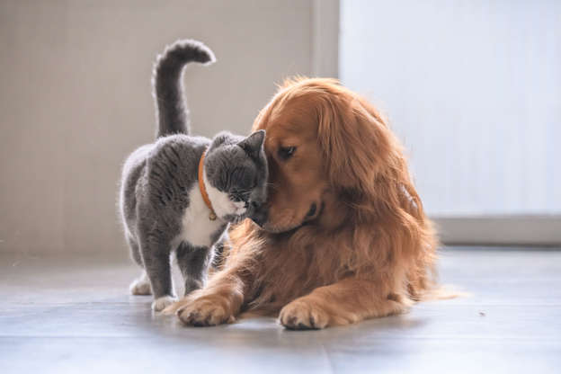 幻灯片 16 - 1: British short hair cat and golden retriever