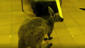 Astonished man finds kangaroos snacking on toilet paper in the bathroom