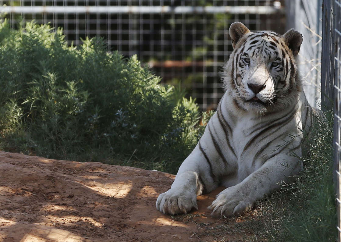 a cat sitting on top of a dirt field: In this Aug. 28, 2013, file photo, one of the tigers living at the Greater Wynnewood Exotic Animal Park is pictured at the park in Wynnewood, Okla.