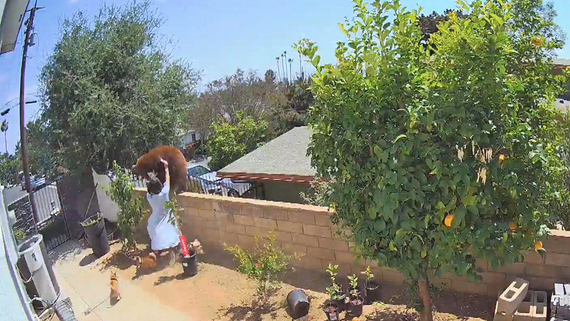 a statue of a person in a garden: Viral video that shows a teenager shoving a full-grown bear off a wall in Southern California has been nearly 70 million times on TikTok alone. NBC's Gadi Schwartz reports for TODAY from Los Angeles.