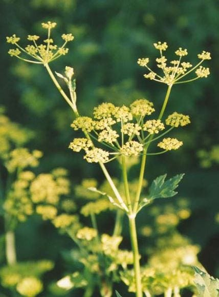 Fact check: Contact with wild parsnip harmful to humans and animals