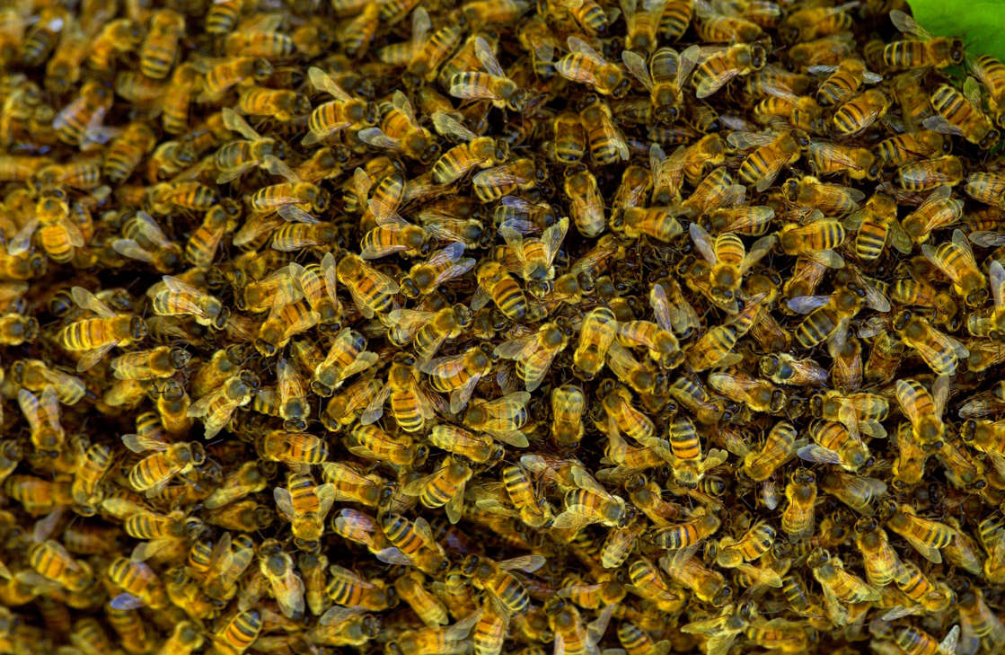 a large pile of bananas: A California man was stung over 40 times and his two dogs died after being attacked by a swarm of 5,000 bees on Saturday. In this stock photo, bees are seen swarming in a plum tree in the Cotswolds, U.K.