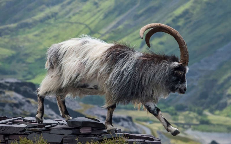 a goat standing on the side of a mountain: Wild feral goat at Dinorwig Slate Quarry - Getty