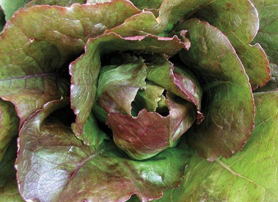 Slide 9 of 11: Another vegetable that isn't a fan of the heat is lettuce. Seeds and plants tend to do better in cool conditions. By picking the right varieties, you might even be able to enjoy lettuce far past the end of fall—with the help of some protection like row covers or cold frames. Cold-hardy lettuce varieties include Rouge D'hiver (60 days), Winter Density (55 days), and Merveille Des Quatre Saisons (48 days).