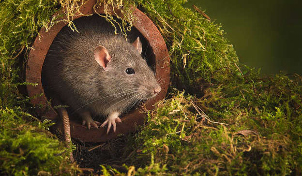 a rodent looking at the camera: Rat infestations across Dublin City Council (DCC) flat complexes are as a result of council 'neglect' in maintaining the flats, a TD said. Pic: Getty Images