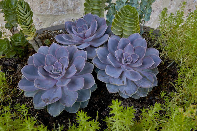 Black succulents will fill your home with style and elegance.