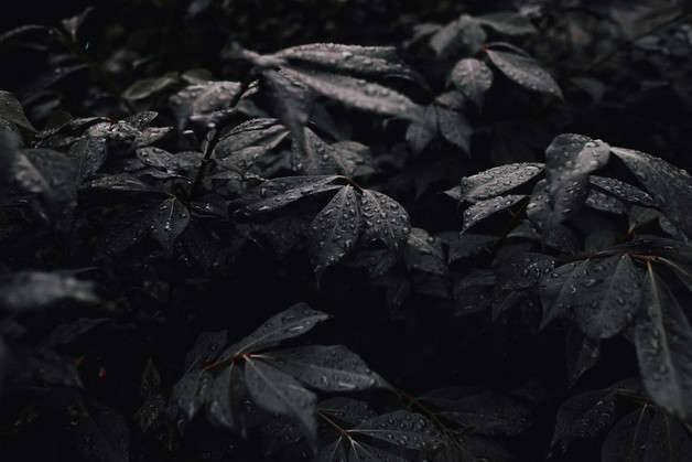 Black plants need a lot of sun to maintain their color.
