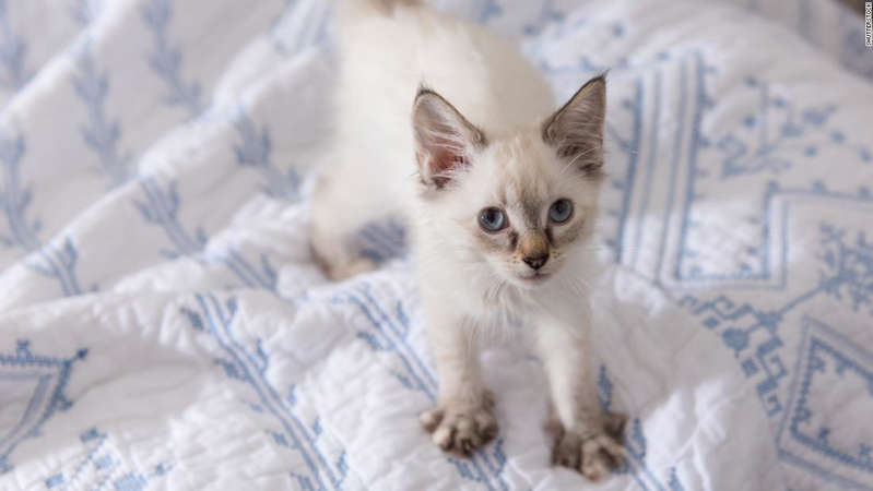 a cat sitting on a bed: Kittens start kneading soon after they are born.