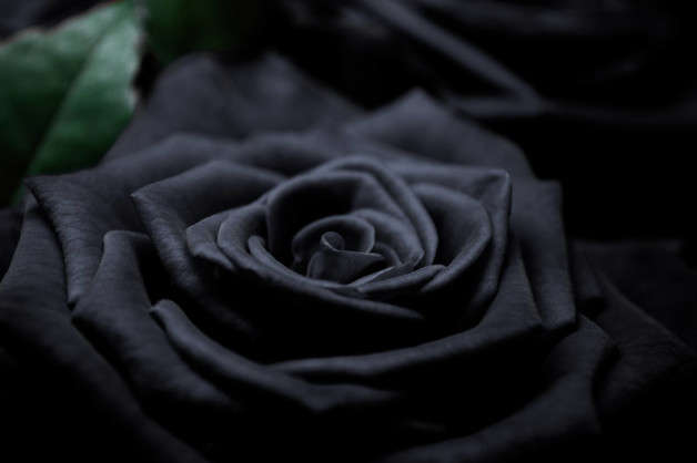 It is common to find artificially dyed roses but there are natural black roses.