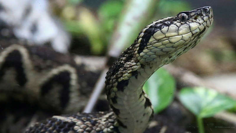 a close up of a snake: A jararacussu snake's venom has been used in a study against coronavirus.