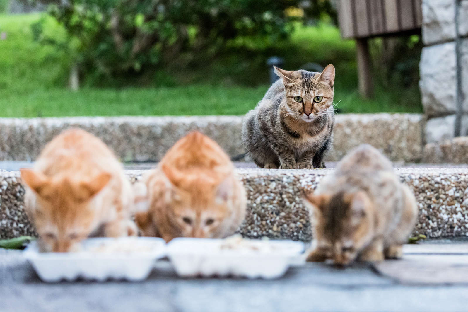 Catching Feral Cats