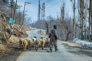 a herd of cattle walking across a dirt road: Opinion: When Will Kashmir Valley Have its First Wattal Chief Minister?