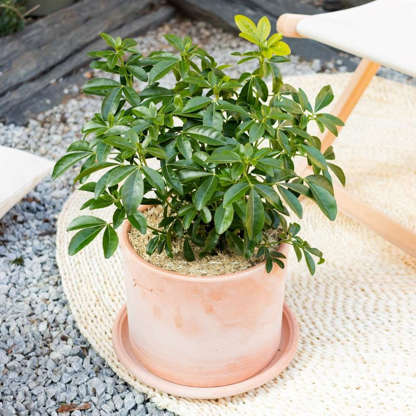 Slide 14 of 15: The Mexican orange tree offers a very fragrant flowering and small white flowers. This potted shrub perfectly beautifies a balcony or terrace. He likes to be in the semi-shade or in the sun.©Bergamotte