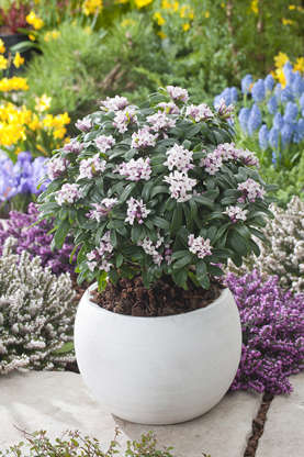 Slide 15 of 15: Daphne is a beautiful shrub that pleases perfectly in pot. Its scent is exotic, flowery, and intense, and its flowers will color your garden with white, blue, and purple. Daphnes like exposure to shade or sun depending on the variety.©Jardiland