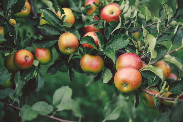 Slide 7 of 15: It is better to choose dwarf varieties, if you want to have a nice apple tree on your balcony or terrace. A very well drained pot is essential to ensure beautiful blooms. A location in full sun or semi-shade is suitable.
