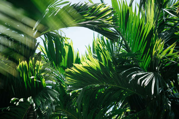Slide 11 of 15: Palm trees plant in the spring. It is better to choose to grow it in pot in our regions where the climate is cool. In the summer you can take it out on your terrace. Direct sun can strongly damage its foliage, choose to place it in the semi-shade where it will bloom properly.