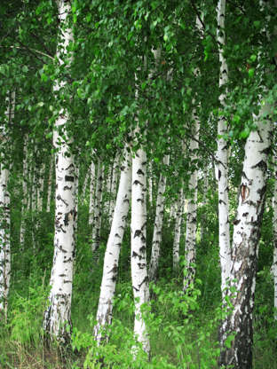 Slide 12 of 15: Several species are suitable for growing potted birch trees. The container must be drained to ensure flowering. Even if the latter is not the most spectacular, it will be a beautiful ornament of your exteriors. It also brings shade and freshness to your terraces.