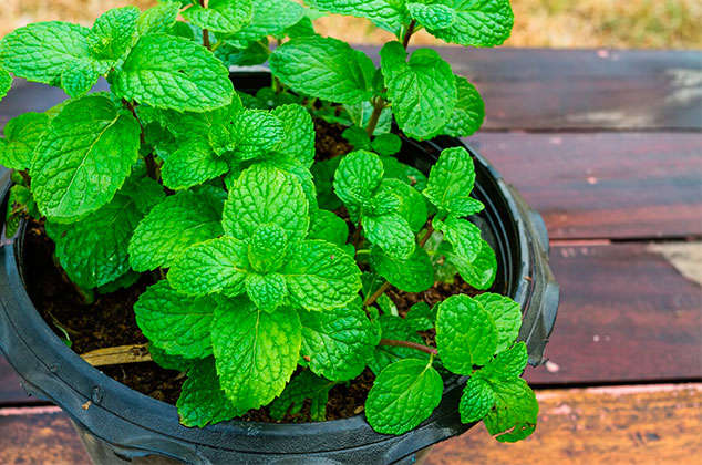 How to grow mint at home with cuttings