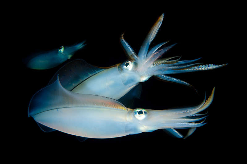 a close up of an animal: Bigfin reef squid may engage in paternal care, a practice more often seen in monogamous vertebrates, such as birds.