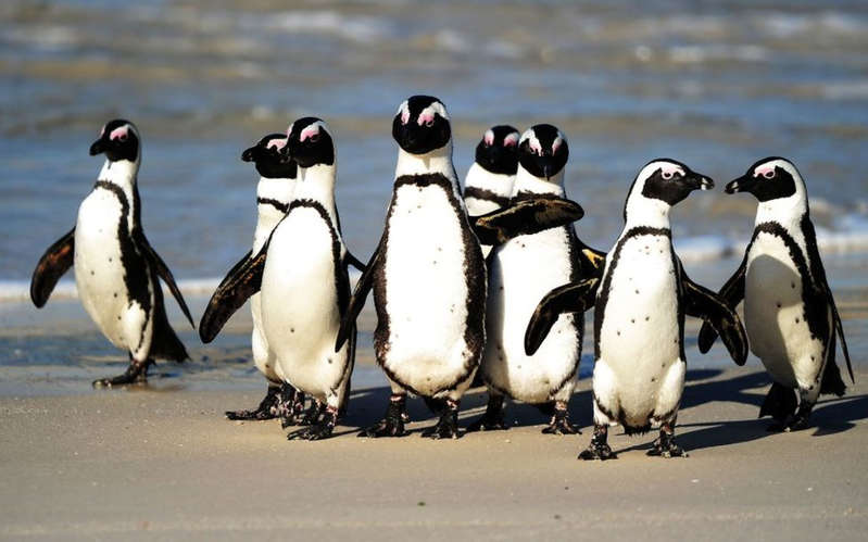 a penguin standing on the side of a road: Conservationists say the African penguin is at high risk of extinction