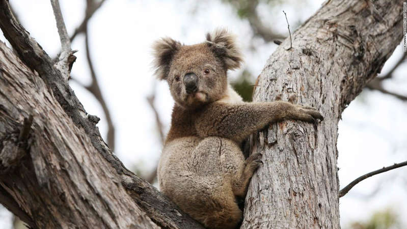 a squirrel standing on a branch: A koala affected by the Australia's wildfires last year is released back into native bushland following treatment at the Kangaroo Island Wildlife Park in Parndana.