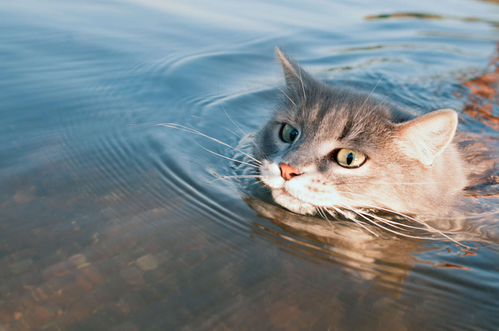Swimming Cat Inspires Owner to Learn Swimming