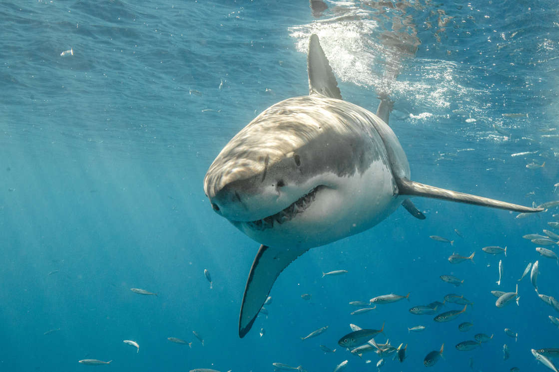 A stock photo shows a great white shark in Mexican waters. In some areas, sharks are fitted with trackers for public safety.