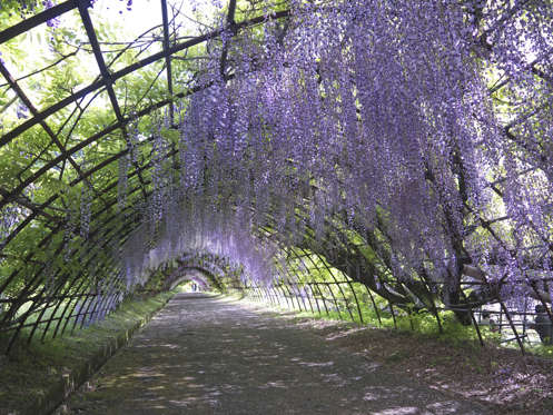 Wisteria Tunnel