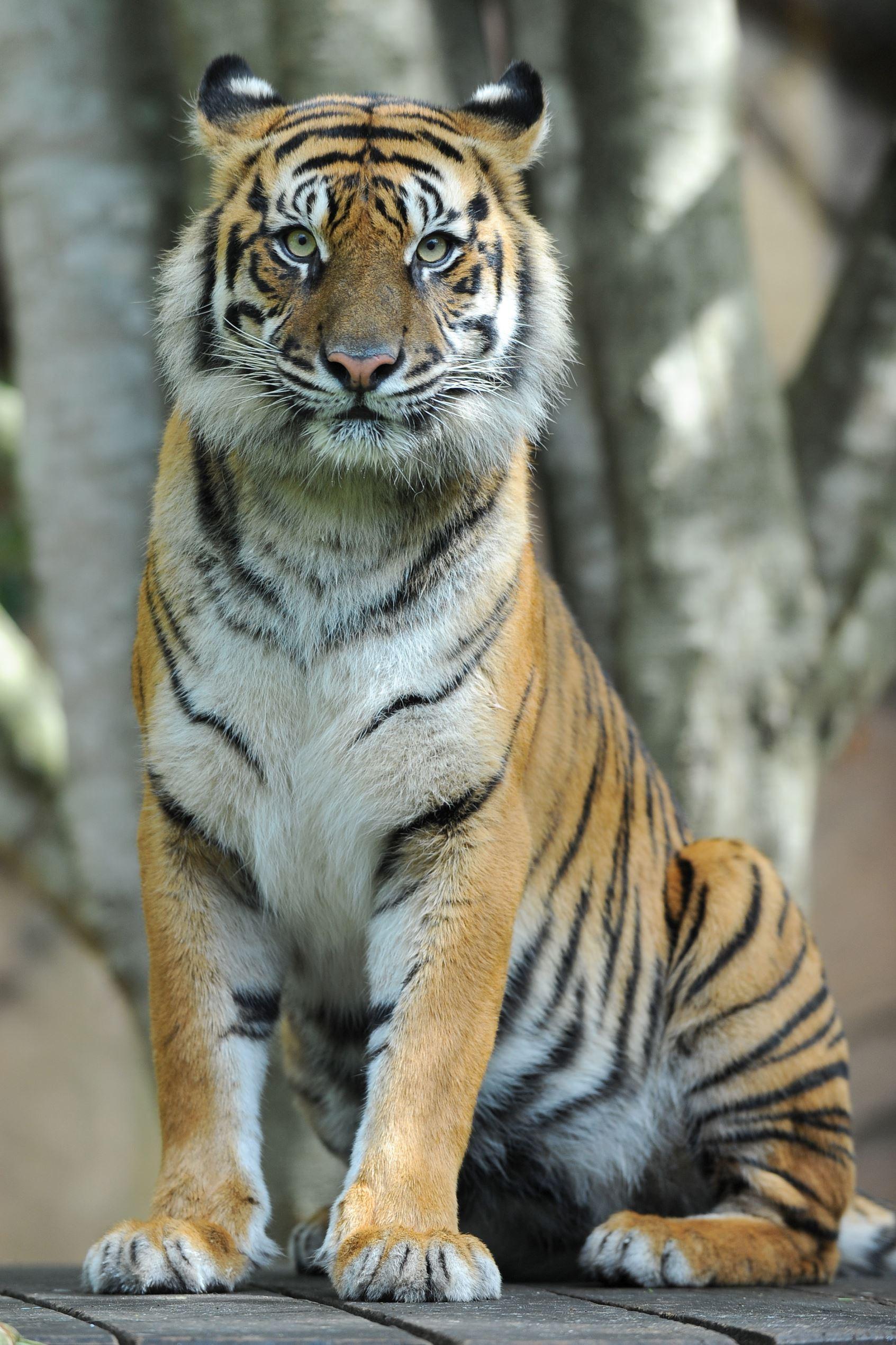 Tigers mor ar rasande