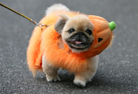 A dog in a Halloween costume takes part in a parade in Tokyo's Harajuku Omotesan...