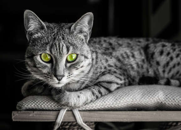20 of the Most Expensive Cat Breeds