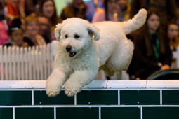 BIRMINGHAM, ENGLAND - MARCH 13: A dog jumps over a fence on the final day of Crufts 2016 on March 13, 2016 in Birmingham, England. First held in 1891, Crufts is said to be the largest show of its kind in the world, the annual four-day event, features thousands of dogs, with competitors travelling from countries across the globe to take part and vie for the coveted title of 'Best in Show'. (Photo by Ben Pruchnie/Getty Images)