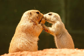 close up of Marmots looking like they are kissing in Tywcross zoo.