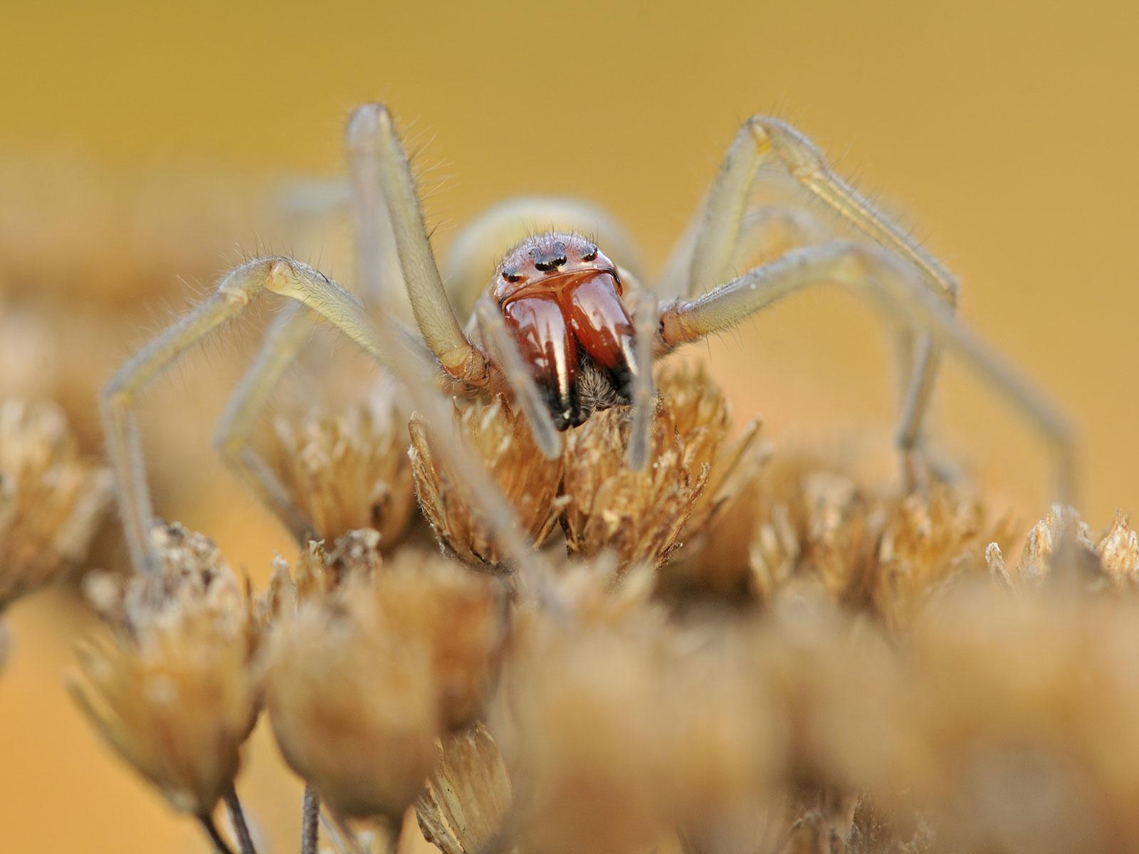 edderkopp bid med smertefuld erektion