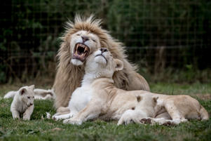 A white lioness Tia and white lion Aga play with their 10 weeks old cubs in their enclosure at a private zoo in Dvorec, Czech Republic, 14 July 2017. The animals, four females and a male, were born on 04 May 2017. Quintuplets of white lions are extremely rare in one litter because usually it is not more than four. According to zoo's director Viktor Ambroz, they are the first white lion cubs in history of Czech and Slovak zoos. White lions (Panthera leo krugeri) are not albinos but a genetic color rarity of African lion living in only one place on earth, in the South African Timbavati and Kruger National Park areas. According to the Global White Lion Protection Trust, there are hundreds of white lions in captivity but less than 13 in the wild.