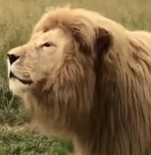 Hilarious clip of a singing lion !