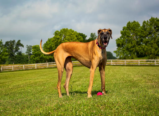 Diapositiva 1 de 20: Great Dane standing in green field with ball